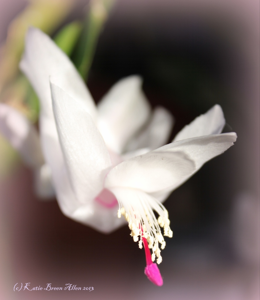 Floral Friday Foto - Christmas Cactus