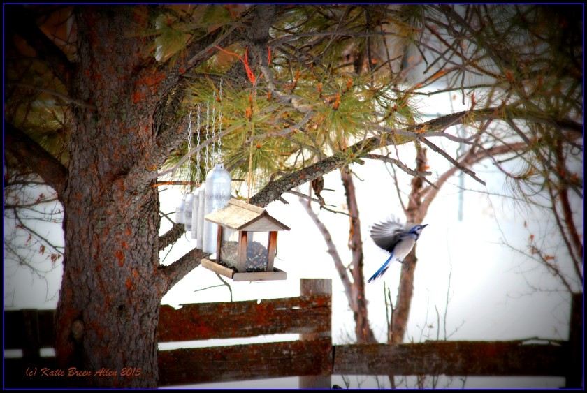 Blue Jay leaving the feeder