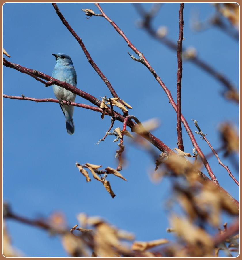 Rocky Mountain Blue Bird 3/21/2015