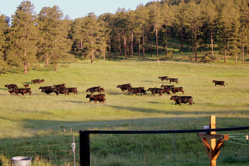 cows running