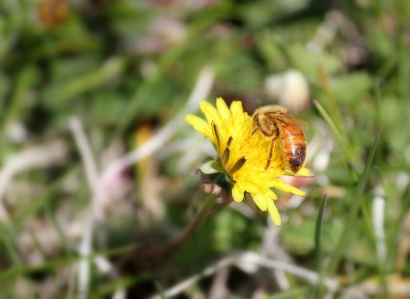 Dandelionbee