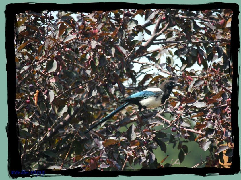 Single Magpie